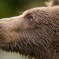 USA, Alaska, Katmai National Park, Close-up of Coastal Brown Bear Cub (Ursus arctos) along Kuliak Bay