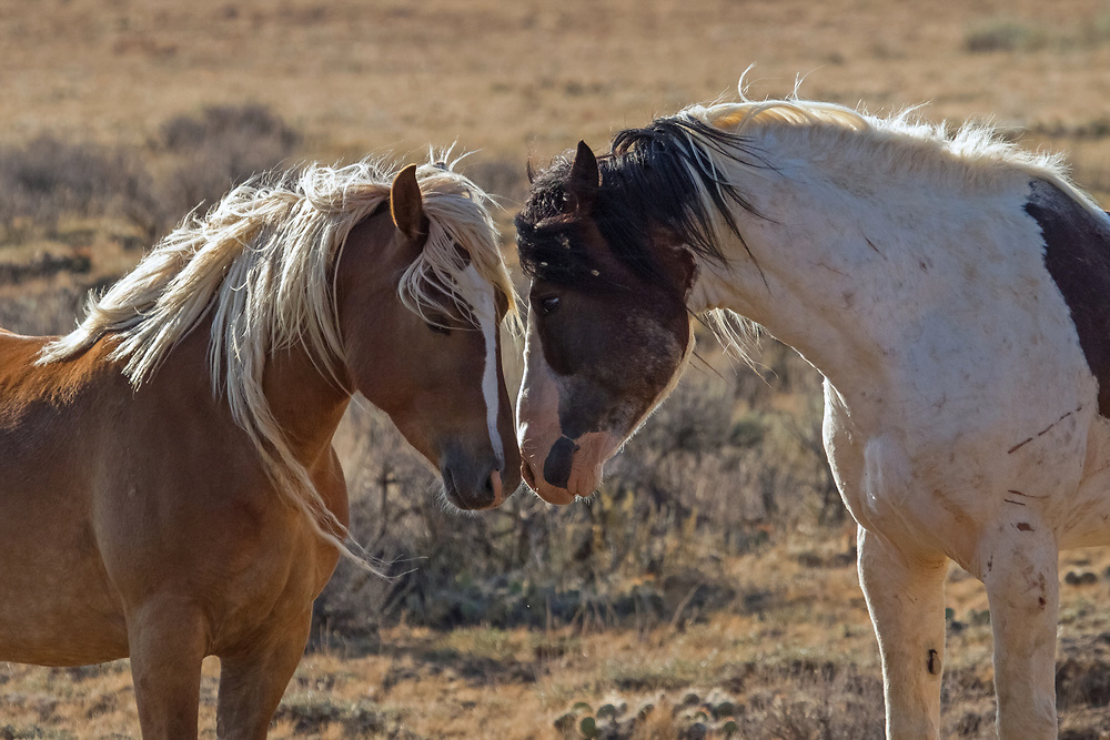 The band stallion, Medicine Hat, and his sorrel mare, Tigress, nose bump each other in greeting along Whistle Creek Road at the McCullough Peaks Herd Management Area outside of Cody, Wyoming.