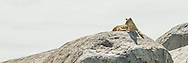 A lion rests on a kopje in the Serengeti.  The kopjes were formed in ancient lava flows as granite bubbles.  Subsequent erosion has exposed them as outcroppings in the Serengeti's seas of grass.<br /> LIMITED EDITION PRINT