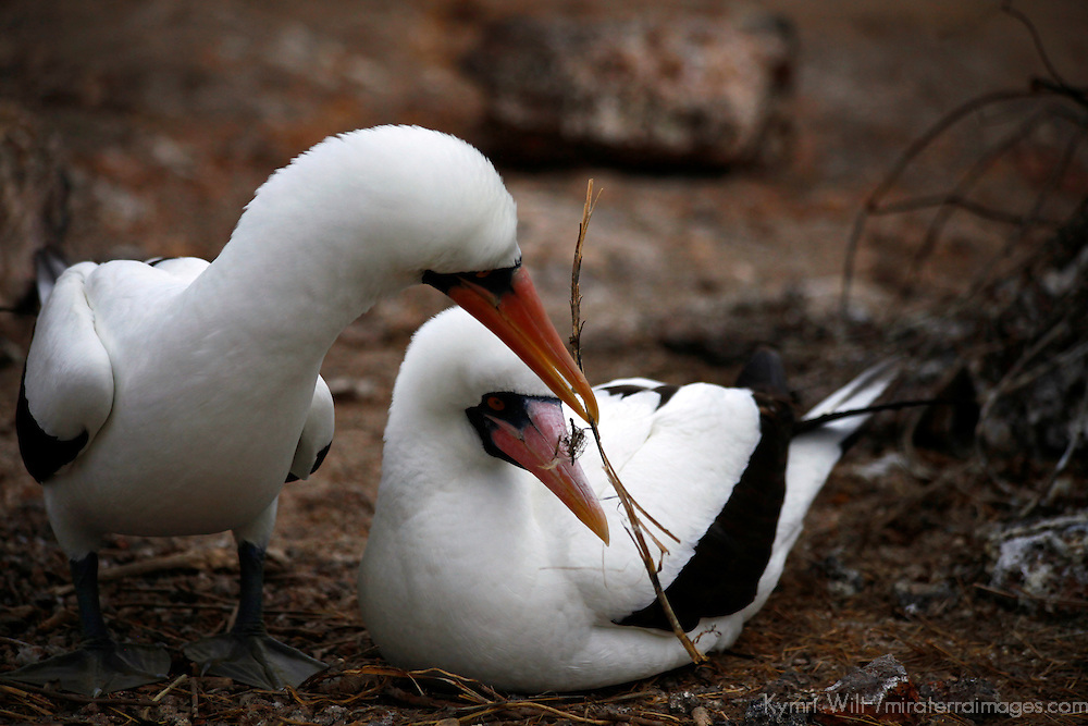 South America, Ecuador, Galapagos Islands. Nazca Boobies nesting and courtship ritual.