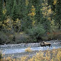 Moose, Alces alces, Gates of the Arctic National Park, Alaska.USA