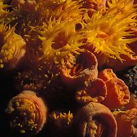 Sun cup  coral, Tubastrea coccinea  . Galapagos Islands Pacific Ocean &copy; KIKE CALVO - V&amp;W<br />