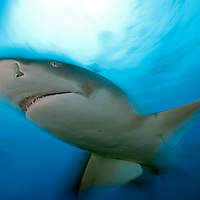 Lemon Shark, Movement