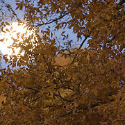 Full moon, hunters moon, rising over autumn leaves.