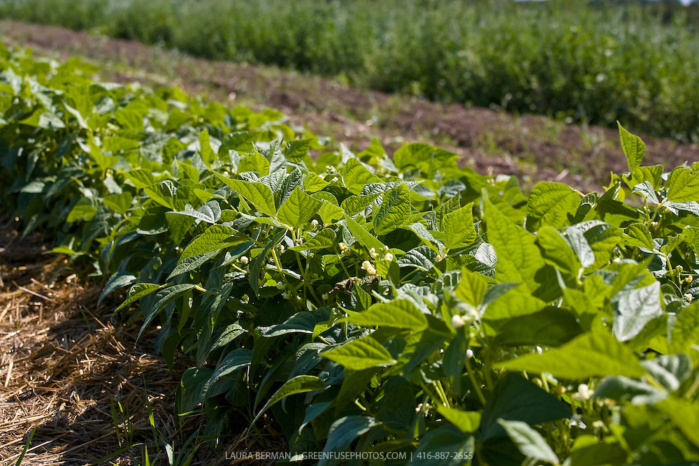 A row of bush green beans growing in straw mulch on an organic farm..