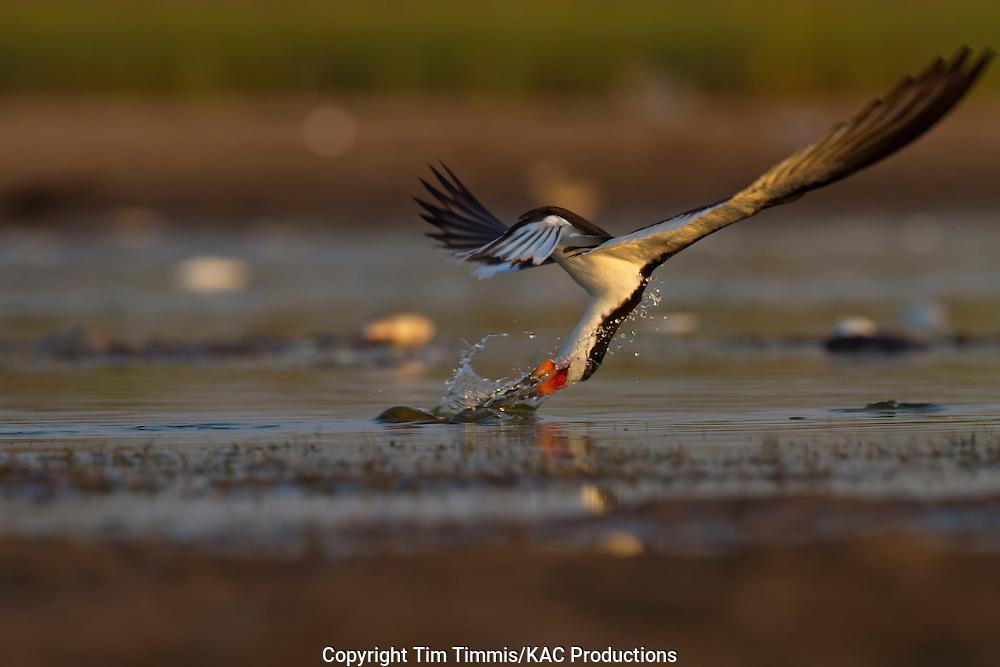 Black Skimmer, Rynchops niger, Bryan Beach, Texas gulf coast, skimming, catching fish with water splashing, lowered head