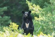 Algonquin Bears