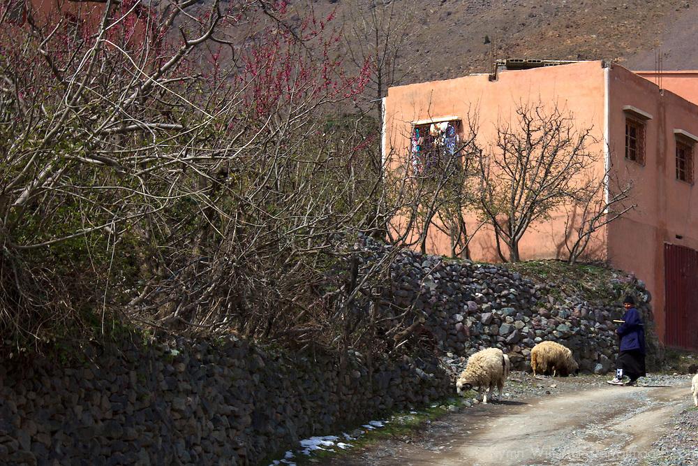 Africa, Morocco, Imlil. Sheep and Berber man.