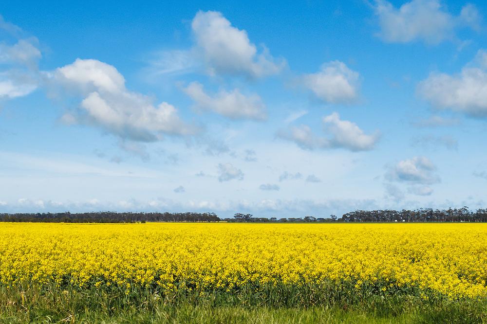 Cumulus cloud over field of flowering canola in rural Mingay, Victoria, Australia.