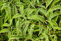 Closeup of fern plants on the Pihea Trail, Koke'e State Park, Kauai, Hawaii, USA.