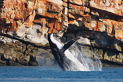 A female humpback whale breaches at Lulim Island, Camden Sound on the Kimberley coast.