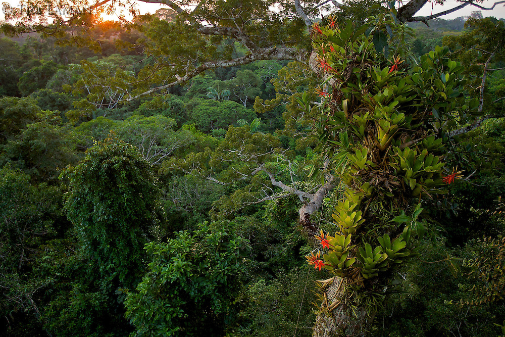 Amazon rain forest canopy view with flowering Bromeliad epiphytes growing on a branch of a giant Ceiba tree..Sunset..Tiputini Biodiversity Station, Amazon Rain Forest, Ecuador.