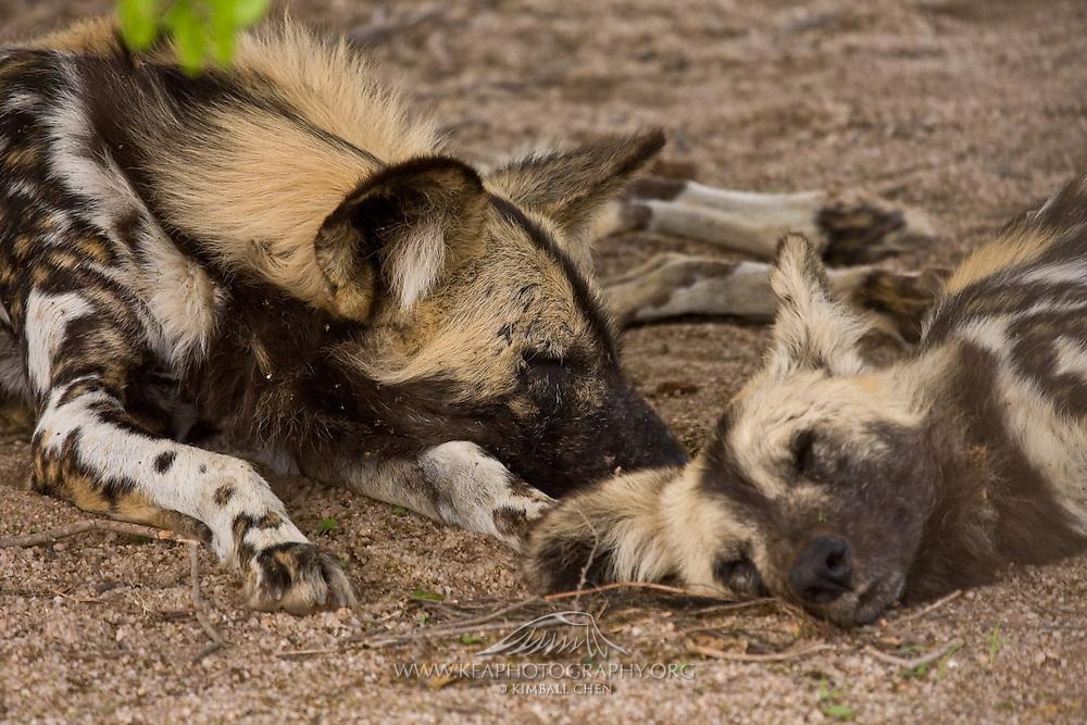 African Wild Dog, Kruger, Africa