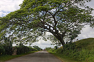 Country road with huge tree in Artemisa, Cuba. There is a cow on the hill and a horse and buggy in the distance.