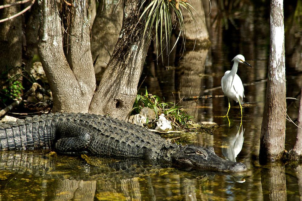 An egret snoops around an alligator in the Big Cypress Swamp, Everglades