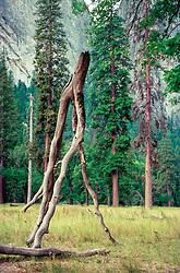 tree branch walking through Yosemite Valley