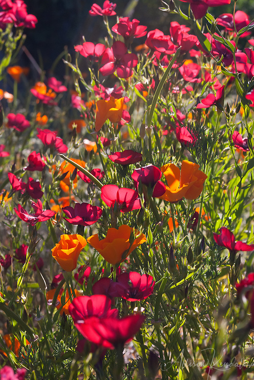 ... flowers and native orange California poppy flowers fill a sunny meadow