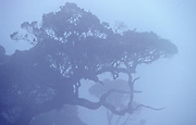 Horton Plains National Park, Sri Lanka. Trees in mist which is typical for the montane forest.