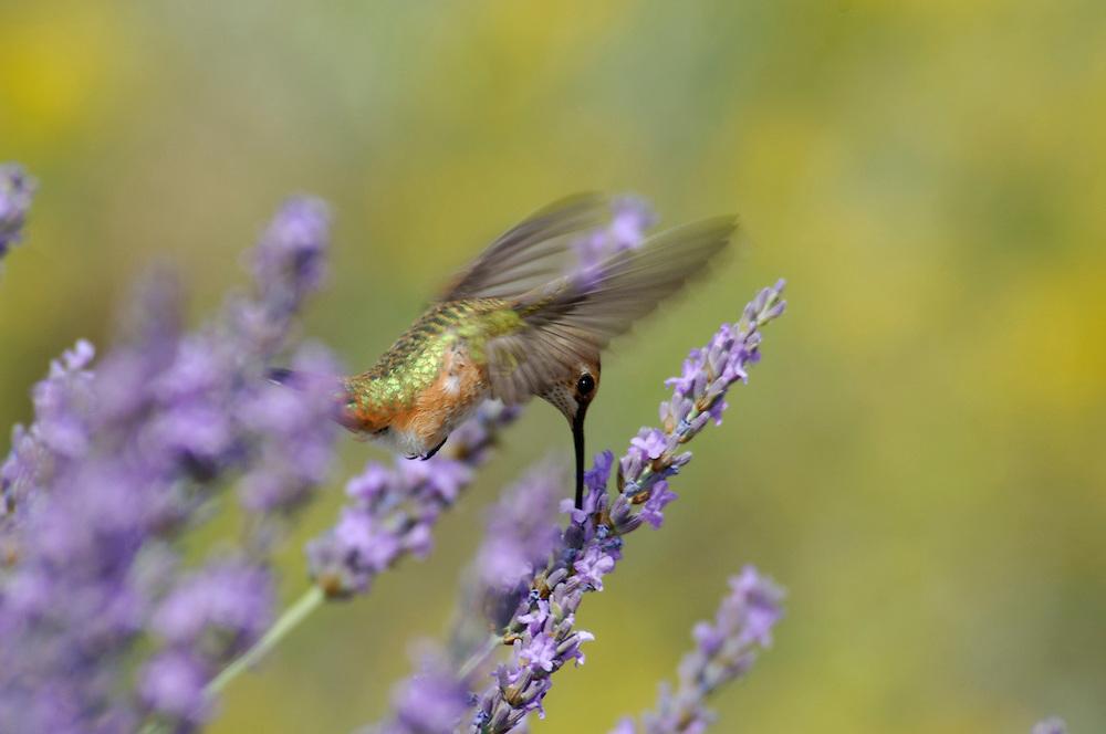 Rufous Hummingbird, (Selasphorus rufus) California, United States of America