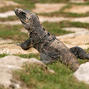 A Mexican Iguana sunning itself on the rocks of the Mexican Yucatan