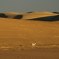 Springbok (Antidorcas marsupialis), near Serra Cafema Camp, Wilderness Safaris, Kaokoland, Kunene Region, Namibia
