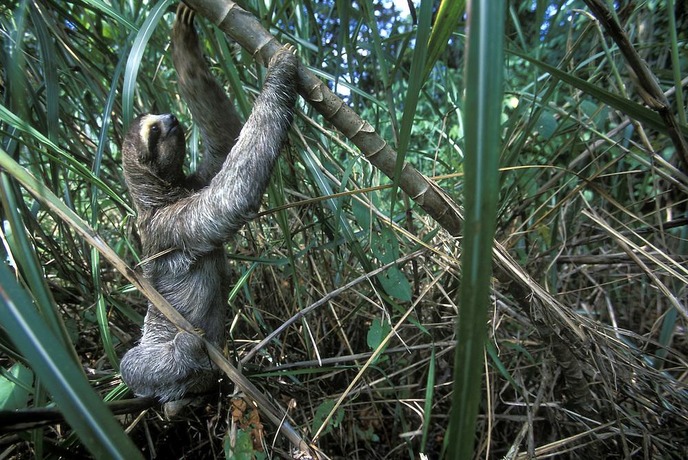 Panama, Colón Province, Three-toed sloth  (Bradypus tridactylus) climbs through dense grass in rainforest along Gatún Lake