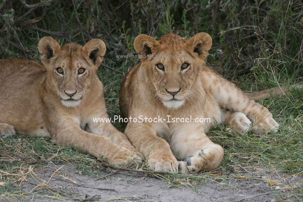 Africa, Tanzania, Serengeti National Park, Lion cubs, Panthera leo