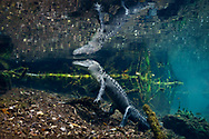 American Alligator<br />