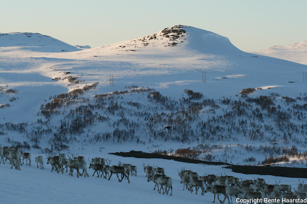 Vårflytting i Essand reinbeitedistrikt. Simleflokken passerer Øyfjellet og er på veg nordover mot Skarpdalen, til kalvingsområdet og sommerbeitet. I bakgrunnen Sankåkleppen og Gardkleppen.