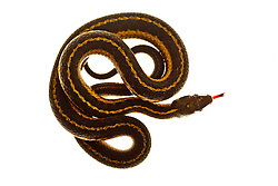 Garter snake. Seacoast Science Center, Rye, NH.