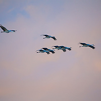 An eight-ship Sandhill Crane formation glides in at the refuge