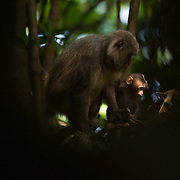 A Japanese macaque female with her son in the forest of Yakushima, which is an island in the south of Japan home to 10,000 macaques.