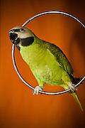 Moustache Parrot (Parakeet)