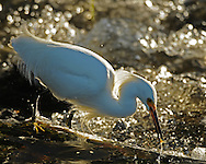 Snowy egrets stalk prey in shallow water, often running or shuffling their feet, to flush prey into view. This particular egret, used a waterfall as his hunting ground and was very adept at catching small minnows passing through the choppy water.
