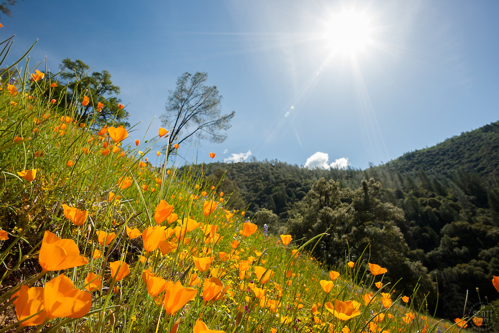 """""""California Poppies 4"""" - These wild California Poppy flowers were photographed near Windy Pt. along the North Fork American River."""