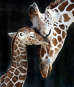 Sarabi nuzzles her newborn baby who is just a few hours old at the Memphis Zoo on Friday. The second new baby in two months was born to the zoo Friday morning around 7am. Until about three years ago, the zoo had gone 15 years without a successful birth. The babies are born while the mother is standing, they then drop to the ground; the gestation is about 14 mos.