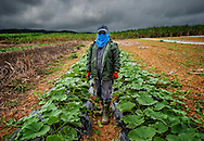 Okinawan farm covers up in his squash patch in the sparsely populated north of Okinawa's main island.  Okinawa, Japan.
