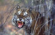 Wild Bengal tiger (Panthera tigris tigris), India