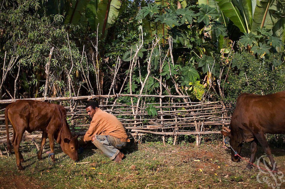 Coffee farmer Hagirso Funte (age 32) feed his cattle outside his modest home February 24, 2007 in the Sidamo coffee region of southern Ethiopia near the town of Yirgalem. Funte struggles to make enough money through coffee farming to support his wife and four children and says that coffee prices for Ethiopian farmers need to increase in order for him to get ahead.