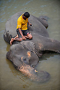 Keeper checking mobile phone while sitting on elephant, during river bath at Pinnawala Elephant Orphanage, Sabaragamuwa Province of Sri Lanka. <br /> <br /> For the conscious visitor, a strange and uncomfortable feeling arises during the visit, as it can be easily mistaken with a zoo or a profitable business, which makes it hardly recommendable. <br /> <br /> Some animal welfare associations, such as Born Free, and elephant experts show strong disagreement with the management and request changes in the level of care, with concerns about chaining, transfers, breeding and the encouragement of visitors by the keepers to have direct contact with the animals, mainly motivated by the exchange of tips and not always positive for the elephant&yen;s wellbeing.