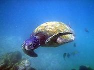 Marine Sea Turtle in the Galapagos Islands