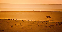 Wildebeest at sunset, Maasai Mara