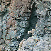 A family of mountain goats (Oreamnos americanus) climbs the steep rugged wall known as Goat Lick in Glacier National Park, Montana. The mountain goats travel for miles to lick the mineral-laden cliffs during the spring and early summer. The cliffs are full of calcium, potassium and magnesium and smaller amounts of sodium and phosphorous. Scientists believe the goats may lick the cliffs to replace minerals they lose from their bones over the long winter. The minerals may also serve as a digestive aid. It's also possible the goats have simply developed a taste for salt.