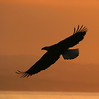 American bald eagle (Haliaeetus leucocephalus) in flight at sunset, Homer, Alaska.