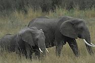 African elephant ( Loxodonta africana ) Masai Mara National Park. Kenya. Africa<br />
