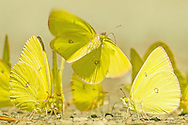 Yellow Sulfur butterfly coming in for a landing among many.