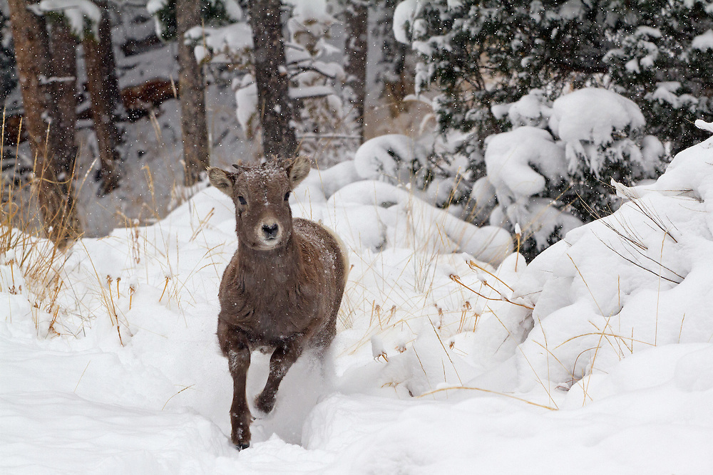 Unlike adult bighorns who seem disturbed by the snowfall, this little lamb really seemed to enjoy the winter weather conditions.