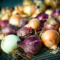 8/9/11 - Springfield, MO: Onions cure in Urban Root's greenhouse.