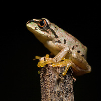 New Leptopelis sp.in Bale Mountains National Park, Ethiopia
