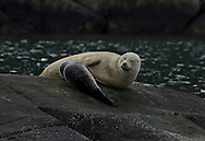 Mother and suckling pup common seal (aka harbour or harbor seal) Phoce vitulin, Isle of Skye, Scotland.